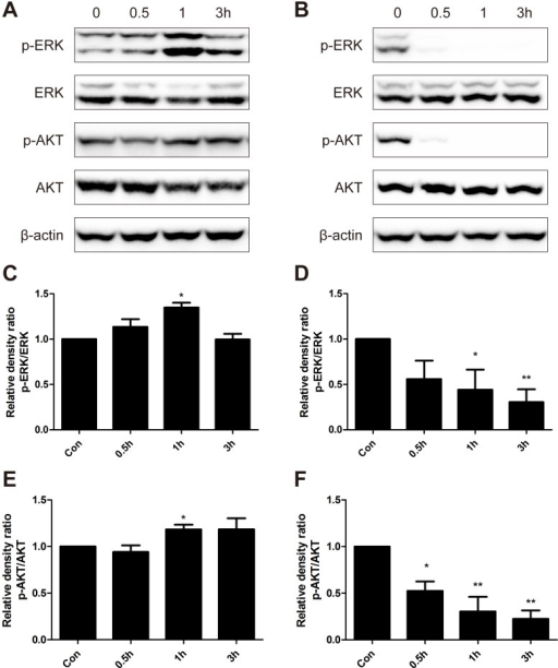 Western blot analysis of protein expression levels of p-ERK, ERK, p-AKT and AKT.B16-F10 cells were treated with low dose of BER (5 μM) (A) and high dose of BER (40 μM) (B) for 0.5 h, 1 h and 3 h, respectively. Total protein of cell lysates was extracted and subjected to Western blot analysis. The density of each band was quantified by Quantity One Software, and the relative density ratio of each protein was calculated accordingly. β-actin was used as the internal control. Data are expressed as mean ± SD (n ≥ 3). * P < 0.05, ** P < 0.01 compared to untreated control.