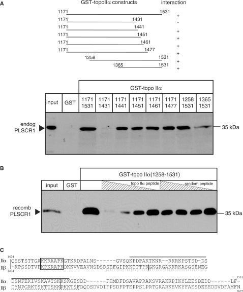 Localization of PLSCR1 binding to amino acids 1432-1441 of topo IIα. (A) Upper panel, Schematic diagram showing the eight GST-tagged topo IIαCTD fusion proteins used to define the region of topo IIα involved in binding to PLSCR1. Lower panel, NP-40 solubilized HeLa cell lysates were incubated with each of the eight GST-topo IIαCTD fusion proteins and complexes pulled down with GSH-Sepharose beads as described in Materials and Methods section. The proteins were eluted and immunoblotted with PLSCR1 antiserum. (B) Untagged recombinant PLSCR1 was incubated with increasing concentrations of synthetic dodecapeptides corresponding to topo IIα residues 1430-1441 or as a control, randomly scrambled topo IIα residues 1430-1441, and GST-topo IIα1258-1531 or GST alone (control). Complexes were pulled down with GSH-Sepharose beads and bound proteins analysed by immunoblotting with PLSCR1 antiserum. The experiment shown was repeated three or more times with comparable results. (C) The sequences of the COOH-termini of topo IIα and topo IIβ were aligned using ClustalW. The basic conserved putative PLSCR1 binding motifs in topo IIα and topo IIβ are boxed; the vertical bars in the topo II sequences represent intron/exon boundaries (43), and the functional NLS sequences in this region are underlined (topo IIα, solid line; topo IIβ, broken line) (24).