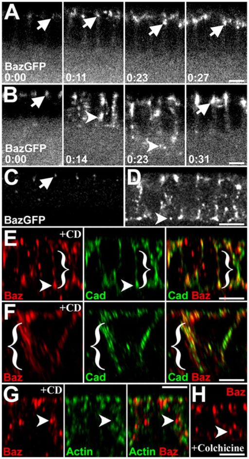 Baz positioning involves a saturable, apical scaffold, and actin. (A) In 6/22 embryos, BazGFP forms apical puncta at early cellularization (0:00 min, arrow) and stays apical as furrows pass the base of the nuclei (0:11, arrow), reach full length (0:23, arrow) and as gastrulation begins (0:27, arrow; Video S1). (B) In 16/22 embryos, BazGFP accumulates apically (0:00, arrow), but many BazGFP puncta move basally with the furrows (0:14, arrowhead; furrows at base of nuclei; Video S2). Some BazGFP puncta remain basal at full furrow length (0:23, arrowhead), but in 14/16 embryos BazGFP is repositioned apically by gastrulation (0:31, arrow; Video S3). (C and D) Fixed mid-cellularization, BazGFP-expressing embryos imaged with the same settings. 6/6 embryos with the lowest BazGFP levels had mainly apical BazGFP (C, arrow). 10/11 embryos with higher BazGFP levels had ectopic basal BazGFP (D, arrowhead). (E–G) CD treatment. (E) Endogenous Baz (red) shifts basally but largely remains furrow associated (DE-Cad; green). Note relatively normal furrows and colocalization of Baz and DE-Cad (arrowhead). (F) With severe furrow defects (note wide furrow spacing), basal Baz is largely cortical. (G) Some actin is detected (green; actin decorated with the actin binding domain of moesin fused to GFP) but without specific enrichment at Baz accumulations (red, arrowhead). (H) Colchicine also leads to basal endogenous Baz. Bars, 5 μm.