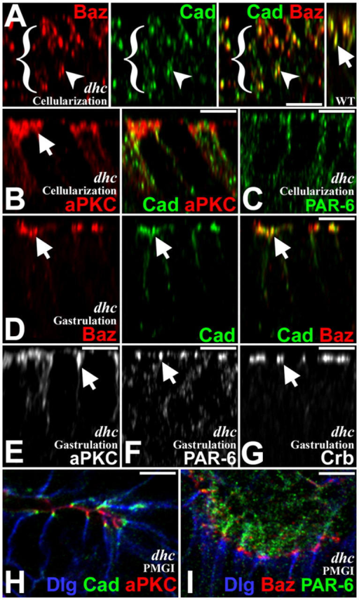 A specific role for dynein in positioning Baz and AJs. dhc64Cm/z mutants. (A–C) Cellularization. (A) Baz (red) and DE-Cad (green) mislocalize basally but often colocalize. WT, right. (B) aPKC (red) enriched apically. DE-Cad mislocalized basally (green). (C) PAR-6 (green) localizes as in WT. (D–G) Gastrulation. (D) Baz (red) and DE-Cad (green) are apical and colocalize. (E) aPKC apical. (F) PAR-6 apical. (G) Crb apical. (H and I) PMGIs. (H) aPKC (red) apical to DE-Cad (green) and Dlg (blue) segregates basally. (I) PAR-6 (green) above Baz (red) and Dlg (blue) basal. Bars, 5 μm.