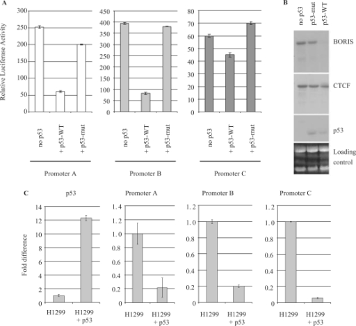 p53 effect on BORIS promoters A, B and C activities. (A) Luciferase assays were performed by transient transfection of reporter constructs and p53 wild-type (WT) or mutant (mut) expression vectors, in the p53−/− K562 cell line. (B) Northern blot showing the expression of BORIS, CTCF and p53 in the K562 p53 thermo-inducible cell line. (C) Real-time PCR on RNA extracted from p53−/− H1299 parental cells or H1299 cells expressing p53 wild type. Real-time PCR data were analyzed using the comparative Ct method and normalized to the non-induced cells.
