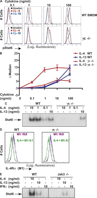 The greater sensitivity of BMDMs to IL-4 compared with IL-13 requires the type I IL-4 receptor. (A) BMDMs were prepared from three to five individual WT (top) or γc−/− (bottom) mice. The cells were stimulated with IL-4 or -13, as indicated, for 15 min or left unstimulated. The cells were stained with anti-PY641Stat6 and analyzed by flow cytometry. Results shown here are from a representative of five independent experiments. (B) The difference in MFI of stimulated versus nonstimulated cells from both WT and γc−/− BMDMs from five independent experiments; means and SEMs for results from the distinct experiments are shown. (C) Stat6 DNA binding in WT and γc−/− BMDMs. The cells were stimulated as indicated, and nuclear lysates were prepared and analyzed by EMSA with a radioactively labeled DNA probe (SBE1) that contains a Stat6 binding site. (D) IL-4 binding to γc−/− BMDMs is not impaired. WT and γc−/− BMDMs, prepared as described in A, were incubated with or without IL-4 for 30 min at 4°C, and cells were washed and stained with anti–IL-4Rα (M1), followed by flow cytometry; MFI of M1 binding is indicated. Results shown are from one of two replicate experiments. (E) IL-4–induced Stat6 DNA binding is undetectable in Jak3−/− BMDMs. BMDMs from a Jak3-deficient mouse were stimulated as indicated and subjected to EMSA assay as in C.
