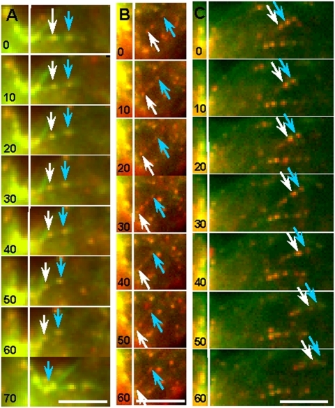 Tracking individual actin filaments labeled by Alexa 488-Phalloidin and speckled with Qdot 655-Phalloidin.As shown in the kymographs (Videos S8, S9, S10), actin filaments could be seen moving into the cleavage furrow (A, B) and moving away from the furrow (C). Arrows depict Qdot-marked reference points on the actin filaments, and a white vertical line marks the location of each cleavage furrow. Time in seconds. Bar, 10 µm.