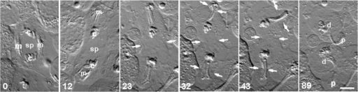 Cell division did not require the presence of spindle-associated mitochondria.A time-lapse sequence of DIC images. During anaphase (0 min), both groups of spindle-associated mitochondria (m) that flanked the central spindle (sp) were mechanically repositioned distal to opposing sets of segregating chromosomes (c; 12 min). Although the equatorial region was thus cleared of mitochondria, cleavage at the spindle equator was not inhibited (12 min onward). Arrows show the locations of the cleavage furrows: at the equator, and in two ectopic locations induced by the relocated, mitochondria-associated bundles of microtubules. The furrows produced two daughter cells (d), each associated with an anucleate membrane pocket (p). Time in minutes. Bar, 10 µm.
