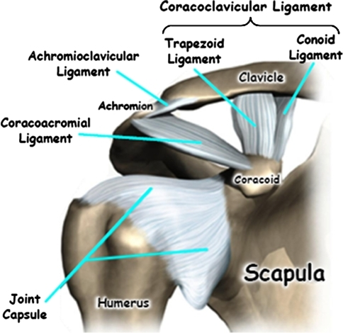 Bony and ligamentous structures of the acromioclavicula   Open-i