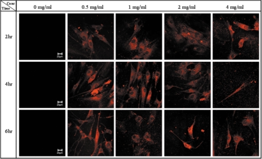 Cellular distribution of MNP@SiO2(RITC)-PEG in human mesenchymal stem cells. Confocal fluorescence images of human mesenchymal stem cells cultured with different concentrations of MNP@SiO2(RITC)-PEG (0, 0.5, 1, 2 and 4 mg/ml) for 2, 4, and 6 hours.