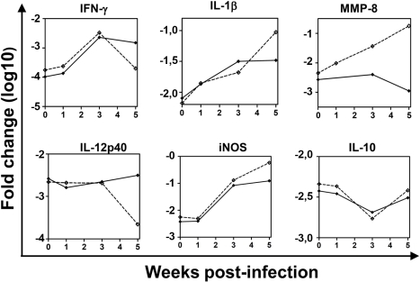 TB-susceptible I/St and TB-resistant A/Sn mice infected with Mtb differ by the expression of genes associated with T-cell mediated response and inflammation.I/St and A/Sn mice were challenged with Mtb or left un-infected. The expression of genes was analyzed in the lungs at weeks 0, 1, 3, and 5 post-challenge. Shown are typical examples of the expression of genes which were down-regulated in I/St lungs at late time-points post-challenge (IFN-γ, IL-12p40), up-regulated in I/St lungs at late time-points post-challenge (IL-1β, iNOS), up-regulated in I/St lungs at all time-points post-infection (MMP-8), and genes that were expressed similarly in I/St and A/Sn lungs (IL-10). Mean ±SD are shown (n = 3–4 per time-point). I/St, dashed line; A/Sn, solid line.