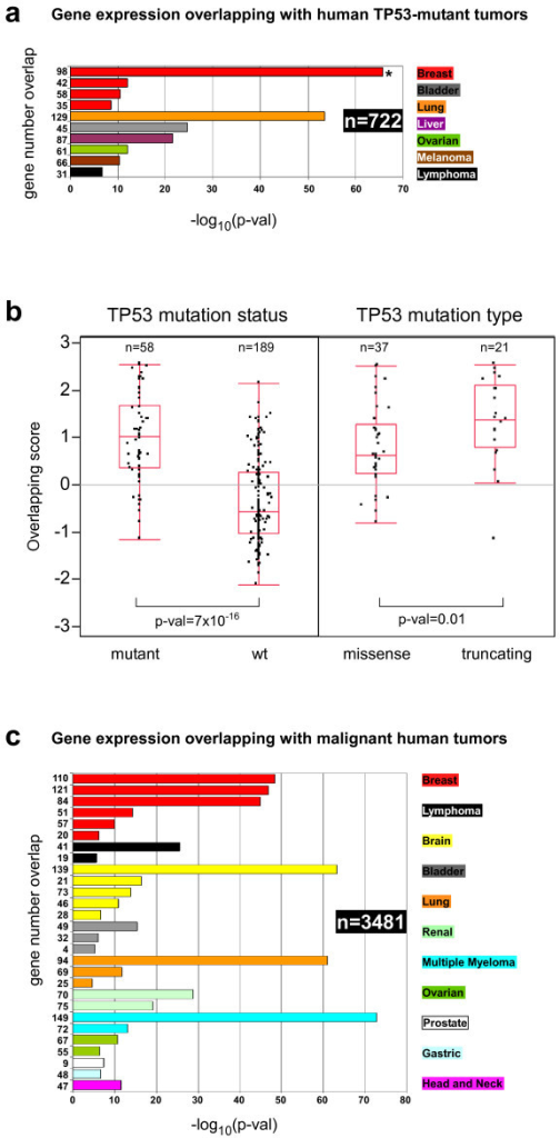 Overlapping of mouse and human tumors. (a) Gene expression overlapping between mouse tumors and human samples with TP53 mutations from 7 different cancer types is shown. n: total number of human tumors analyzed. Bar plots represent the significance of the overlap between overexpressed genes in tumors of p53-deficient mouse and genes overexpressed in human tumor samples with TP53 mutations (p-val, Fisher's exact test). Numbers at left represent the gene number overlap. Aside the plot is represented the color codes for each cancer tissue. Asterisk represents the most significant overlapping. (b) Mouse tumors as models for missense and truncating TP53 mutations. Gene expression values of the 98 genes overlapping between the mouse tumors and the breast cancer samples from Ivshina et al. [26] (asterisk in panel a) with TP53 mutations (overlapping score; mean = 0, stdv = 1) were plotted depending on the TP53 mutation status (left) or the mutation type (right). Number of tumor samples and significance of mean difference is shown. (c) Gene expression overlapping between mouse tumors and human samples with poor outcome from 11 different cancer types is shown. n: total number of human tumors analyzed. Bar plots represent the significance of the overlap between overexpressed genes in tumors of p53-deficient mouse and genes overexpressed in human tumor samples with poor outcome (p-val, Fisher's exact test). Numbers at left represent the gene number overlap. Aside the plot is represented the color codes for each cancer tissue.
