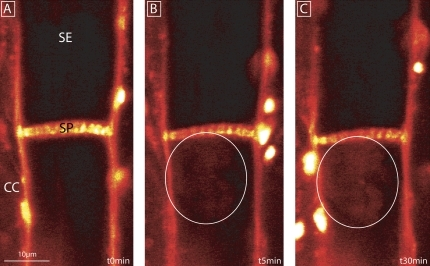 Distant protein plugging at the sieve plate after burning the leaf tip/major vein (at a distance of 9 cm from the observation window) as recorded using CLSM in intact Cucurbita maxima plants. The direction of mass flow is from the top (leaf tip) to the bottom (leaf base) of the picture. The bright spots are autofluorescent chloroplasts. Phloem tissue was pre-stained with 20 μM sulphorhodamine 101 for 20 min. (A) Control image at t=0 s showing the staining of plasma membranes. (B and C) Emergence of a fluorescent cloud (within the white circles) in the vicinity of the SP after 5 min and 30 min, respectively. SE, sieve element; CC, companion cell; SP, sieve plate.