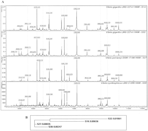 MALDI-TOF mass spectrograms, (panel A) and 16S rRNA gene sequence phylogram, (panel B) for four Vibrio isolates from the North Sea.Panel A, the X axis indicates the mass to charge ratios (m/z) of each peak and the Y axis for each individual plot indicates intensity of the peaks. The identification result using Biotyper software is shown at the top-right corner of each plot followed by the type strain designation. Several mass spectral peaks are common between the isolates and a few show differences, examples of similar peaks are aligned by dotted lines. Panel B, distance phylogram tree of the isolates, over 1500 nucleotides.