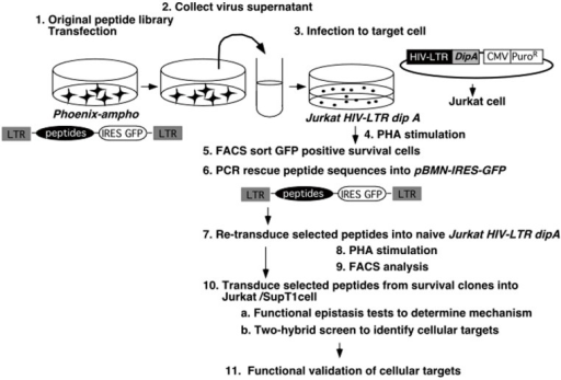 Overall strategy for screening using retrovirus peptide library.The retroviral peptide expression library is first transfected into the helper-free retroviral producer line by transient transfection. The supernatant containing the retrovirus-encoded peptide expression library is used to infect target Jurkat HIV-LTR dipA cells. The cells are subjected to PHA treatment, and GFP positive cells are selected and grown (GFP+ cells should be peptide expressing and should enriched after selection). Genomic DNA is derived from the sorted cells. PCR amplified DNA, using primers flanking the peptide inserts, was cleaved with restriction endonucleases and recloned into new vectors for retesting.