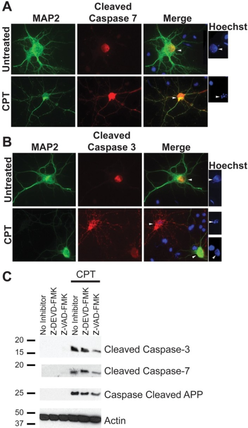 Apoptosis is associated with induction of cleaved caspase-3 and cleaved caspase-7 in primary cortical neurons.Primary neurons were cultured from E18 embryonic rat cortices for seven days, followed by treatment with 10 µM CPT to induce apoptosis. A and B show immunocytochemistry with MAP2 as a neuronal marker (green) and cleaved caspase-7 (A) or cleaved caspase-3 (B) antibodies (red) (Magnification: 63X). Hoechst staining, shown to the right of panels A and B, shows condensed or fragmented nuclei (indicative of apoptosis) in cells positive for cleaved caspases, whereas MAP2 positive neurons in the untreated samples show intact nuclei. (C) Western blot analysis of the lysates from neurons treated with CPT for 12 hours showed a significant induction in cleaved caspase-3 (top panel) and cleaved caspase-7 (second panel) levels. Activation of caspases was partially attenuated in the presence of 10 µM Z-DEVD-FMK and Z-VAD-FMK. Analysis of the lysates with an antibody generated against caspase-cleaved APP detected a single band of ∼25 kDa size. The level of this fragment was attenuated slightly in the presence of caspase inhibitors (Figure 4C, third panel). A reprobe of this blot using an antibody against β-Actin was performed as a control for protein loading (Figure 4C, bottom panel).