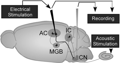 A schematic of the mouse brain with recording and elect open i a schematic of the mouse brain with recording and electrical stimulation sites adapted from luo ccuart Image collections