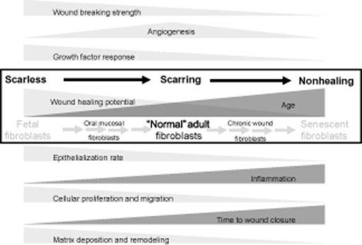 "An overview of the cellular and clinical characteristics of the functional wound healing continuum. Key processes associated with scarless, scarring, and nonhealing wound repair are highlighted as they increase and decline across the repair spectrum. Critical to this is the role of the fibroblast and the ""aging"" transition from fetal fibroblasts, through adult fibroblasts to senescent fibroblasts."