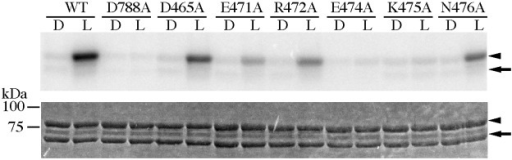 Kinase activity of At phot1 LOV2-STK WT and its amino acid substitutes on P1Nt in the dark (D) or under BL irradiation (L).The upper and lower panels indicate autoradiogram and CBB staining of SDS-PAGE gels, respectively. The arrows and the arrow-heads indicate the position of LOV2-STK and P1Nt, respectively.
