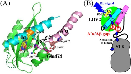 "(A) 3D structure of At phot1 LOV2-Jα (pdb ID: 4HHD). Key side chains of amino acid residues for intramolecular signaling are indicated with a stick model. FMN is indicated with a space-filling model. A'α-helix and Jα-helix are colored pink and cyan, respectively. The trypsin-digested site at Lys603 is colored orange. (B) Schematic illustration for the hypothetic intramolecular interactions involved in the BL signaling from FMN to STK of At phot1. Blue arrows indicate the intramolecular signaling. For details, see the ""Discussion""."