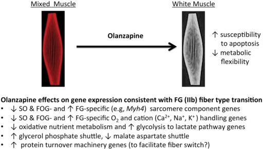 Simplified schematic summarization of muscle fiber types and the pathways affected by olanzapine infusion in skeletal muscle.Striated skeletal muscle fibers can be categorized into three or more different types such as (1) slow-twitch oxidative (SO, red), type I, (2) fast-twitch oxidative-glycolytic (FOG, intermediate twitch) and in rats (3) the fastest-twitch glycolytic (FG, white), type IIb. Gastrocnemius, the muscle examined in this paper, normally contains all of these. Fiber types differ in twitch speed and metabolic flexibility. They are frequently categorized into the above types based one or more of the following: myosin heavy chain isoform content or myosin ATPase activity or gene expression. Compared to SO fibers, FG fibers have: (a) fewer mitochondria, reduced vascularity and myoglobin (Mb) for O2 handling making them whiter in appearance compared to the redder SO fibers; (b) lower expression of genes in FFA, glucose and amino acid oxidation pathways, (c) increased expression of most genes in the glycolysis to lactate pathway; (d) different NADH shuttles; (e) fiber type specific expression of specific sarcomere components, and (f) specific isoforms of calcium and monovalent cation handling or transport proteins. Our data suggest that acute exposure to olanzapine is beginning a process that will eventually cause a fiber type transition from a mixed type to a whiter FG (IIb) type. Whiter muscle has been reported to be more susceptible than other fiber types to atrophy, and such fiber type transitions changes are associated with metabolic disease and obesity.