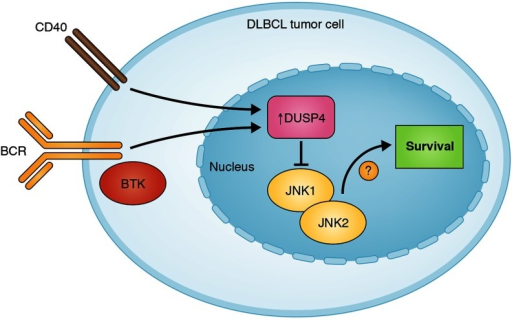B cell activation (e.g., via BCR and CD40 engagement) induces the expression of DUSP4, which negatively regulates JNK1/2 by dephosphorylation, resulting in apoptosis. Inhibition of BTK and JNK1/2 act synergistically to promote apoptosis of lymphoma cells.