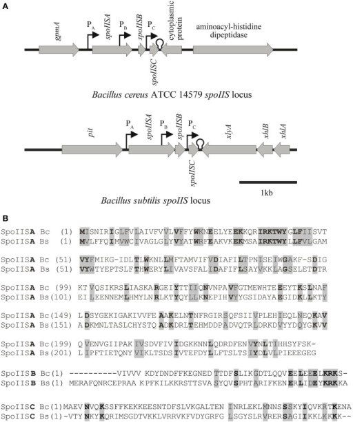 Comparison of the spoIIS loci of Bacillus cereus and Bacillus subtilis. (A) Genomic organization of the spoIIS locus in B. cereus and B. subtilis. (B) Alignment of the SpoIIS proteins of B. cereus (Bc) and B. subtilis (Bs). Amino acids printed in normal weight on a gray background indicate similar amino acids, while bold weight on a gray background indicates identical amino acids.