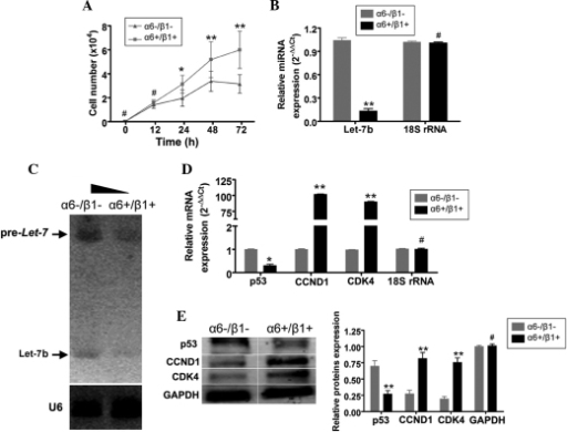 α6+/β1+EpSCs proliferated more rapidly and expressed lower levels of microRNA let-7b than α6-/β1-cells. (A) The proliferation rates of α6+/β1+EpSCs and α6-/β1-cells were examined 12-72 h after passaging. Between 24-72 h, α6+/β1+EpSCs divided significantly more rapidly than α6-/β1-cells. (B) An miRNA RT-qPCR assay demonstrated that expression of miRNA let-7b was markedly lower in α6+/β1+EpSCs at 72 h compared with that in α6-/β1-cells. (C) Northern blot analysis revealed strong pre-miRNA let-7b and mature microRNA let-7b hybridization signals in α6-/β1-cells at 72 h compared with those α6+/β1+EpSCs. (D) RT-qPCR demonstrated that the mRNA expression of p53 was markedly lower in α6+/β1+EpSCs at 72 h compared with that in α6-/β1-cells. By contrast, mRNA expression of the cell cycle-related factors, CCND1 and CDK4, was significantly higher in α6+/β1+EpSCs at 72 h, compared with that in α6-/β1-cells. (E) Western blotting confirmed that p53 protein expression was significantly reduced in α6+/β1+EpSCs. The expression of CCND1 and CDK4 proteins was significantly elevated in α6+/β1+EpSCs. GAPDH served as a loading control **P<0.01, vs. α6-/β1-cells and *P<0.05, vs. α6-/β1-cells; n=3). EpSCs, Epidermal stem cells; RT-qPCR, reverse transcription-quantitative polymerase chain reaction; CCND1, cyclin D1; CDK4, cyclin-dependent kinase 4.