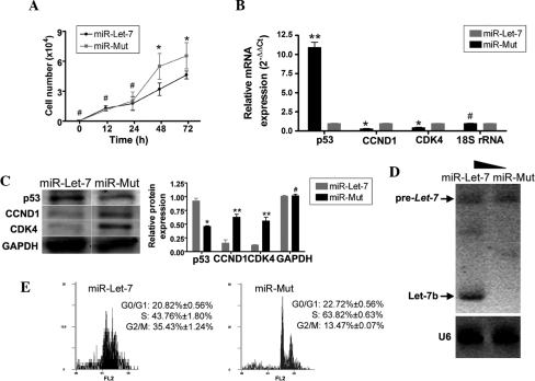 Overexpressed exogenous miRNA let-7b decreased proliferation of α6+/β1+EpSCs by interfering with CCND1 expression. (A) Between 48–72 h, α6+/β1+EpSCs transfected with miR let-7b divided significantly more slowly than α6+/β1+EpSCs transfected with miR-Mut (*P<0.05, vs. miR-Mut; n=3). (B) RT-qPCR demonstrated that p53 mRNA expression was markedly higher in α6+/β1+EpSCs transfected with miR let-7b than that in α6+/β1+EpSCs transfected with miR-Mut. By contrast, mRNA expression levels of the cell cycle-related factors, CCND1 and CDK4, were markedly lower in α6+/β1+EpSCs transfected with miR let-7b than in α6+/β1+EpSCs transfected with miR-Mut (**P<0.01, vs. miR-Mut and *P<0.05, vs. miR-Mut; n=3). (C) Western blotting confirmed that p53 protein expression was significantly increased in α6+/β1+EpSCs transfected with miR let-7b. The expression of CCND1 and CDK4 proteins was significantly decreased in α6+/β1+EpSCs transfected with miR let-7b (**P<0.01, vs. miR-Mut and *P<0.05, vs. miR-Mut; n=3). (D) Northern blotting demonstrated a strong let-7b hybridization signal in α6+/β1+EpSCs transfected with miR let-7 compared with that in α6+/β1+EpSCs transfected with miR-Mut. (E) FCM demonstrated that α6+/β1+EpSCs transfected with miR let-7b were arrested in the G2/M phase, and that the percentage of cells in the S phase was significantly reduced. EpSCs, epidermal stem cells; CCND1, cyclin D1; CDK4, cyclin-dependent kinase 4; RT-qPCR, quantitative reverse transcription-polymerase chain reaction; FCM, flow cytometry.