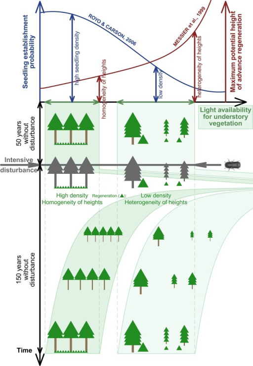 The conceptual figure illustrates how the structural complexity of an old-growth forest carries over to the next stand, in spite of a severe canopy-removing bark beetle disturbance.Structurally simple patches dominated by a dense overstory tend to be replaced by a young simple cohort (high density, more evenly spatially distributed, shorter and more uniform heights). Structurally complex patches that include gaps tend to be replaced by with a similarly complex young cohort (lower density, larger patches of open space, greater maximum and wider variability in heights). This difference in post-disturbance early-seral structural development pathways is attributed to light conditions and microsite availability when the advance regeneration bank was formed: Under densely closed canopies, there are suitable microsite conditions (sparse herb layer) for seedling establishment but not enough light for sustainable height growth over a certain threshold. In contrast, under moderate canopy cover, the establishment of new seedlings is inhibited by a dense herb layer. Seedlings and saplings that do manage to establish in these patches are subject to mortality due to resource competition by the herb layer, resulting in lower advance regeneration density, larger patches of open space and wider height variability under moderate canopy cover.