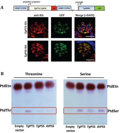 PtdThr and PtdSer are synthesized by PTS and PSS in the ER of T. gondii.(A) Immunostained images of the HA-tagged PtdThr synthase (TgPTS) and PtdSer synthase (TgPSS) targeted at the uracil phosphoribosyltransferase (UPRT) locus and expressed under the control of the regulatory elements of TgGRA1 or TgSAG1, respectively. Colocalization was done with TgDer1-GFP (ER marker). Yellow fluorescence in the merged panel indicates expression of TgPTS-HA and TgPSS-HA in the ER (bars, 5 μm). No crossfluorescence from green to red channel or vice versa was observed. For costaining with other organelle markers, refer to S5 and S11 Figs. (B) TLC-resolved lipid profiles of E. coli strains harboring the specified expression constructs. To assess the TgPTS and TgPSS activities, ORFs (open reading frames) were cloned into the M15/pREP4 strain of E. coli and expression was induced by IPTG (isopropyl β-D-1-thiogalactopyranoside) in cultures supplemented with 5 mM threonine or serine. Total lipids were resolved in chloroform/methanol/acetate (130:50:20) and visualized by ninhydrin spray.