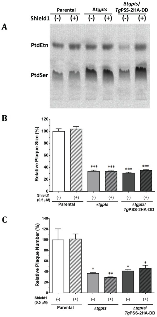Knockdown of PSS in the Δtgpts/TgPSS-2HA-DD strain does not rescue growth defect caused by the loss of PTS alone.(A) Autoradiography of TLC-resolved lipids after labeling of the indicated strains with radioactive serine. Parasites were cultured during the intracellular phase without or with Shield1 (0.5 μM, 24 hr) followed by labeling of extracellular parasites (5 x 107) with 14C-serine (2 μCi, 100 μM, 2 hr, 37°C). Lipids were resolved in chloroform/ethanol/water/triethylamine (30:35:7:35). For corresponding quantitative radiolabeling and phospholipid analysis, refer to S12 Fig. (B–C) Relative growth fitness of the parasite strains incubated with or without Shield1. Plaque assays were executed and quantified, as described in Materials and Methods. Note that growth of the Δtgpts/TgPSS-2HA-DD and Δtgpts strains are equivalent irrespective of Shield1 in cultures. Statistics was performed with respect to the untreated parental strain (mean ± SEM, n = 3 assays; *p < 0.05, **p < 0.01, ***p < 0.001).