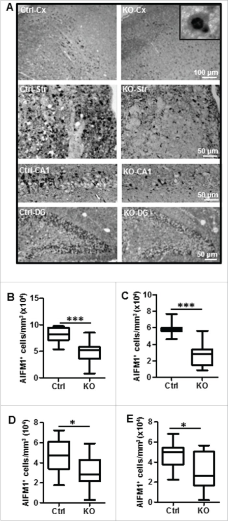Neuronal Atg7 deficiency reduced hypoxia-ischemia-induced AIFM1 nuclear translocation. (A) Representative AIFM1 staining 24 h after HI and the corresponding quantifications of the number of AIFM1-positive nuclei (B) in the cortex (Cx) (80,610 nuclei ± 4,038 nuclei/mm3 vs. 49,060 nuclei ± 6,115 nuclei/mm3; ***, P < 0.001), (C) in the striatum (Str) (59,610 nuclei ± 2,322 nuclei/mm3 vs. 28,020 nuclei ± 4,287 nuclei/mm3; ***, P < 0.001), (D) in the CA1 (45,620 nuclei ± 3,849 nuclei/mm3 vs. 30,350 nuclei ± 5,123 nuclei/mm3; *, P < 0.05) and (E) dentate gyrus (DG) (48,260 nuclei ± 5,278 nuclei/mm3 vs. 30,730 nuclei ± 4,294 nuclei/mm3; *, P < 0.05). n = 11/group. KO: atg7 KO (Atg7flox/flox; Nes-Cre) and Ctrl: Atg7flox/+; Nes-Cre.