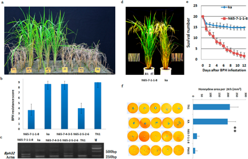 Complementation test of the Bph32 gene and characterization of BPH resistance in Bph32 transgenic rice.(a) BPH resistance test of Bph32 transgenic and susceptible wild-type (WT) rice. TN1, susceptible variety (CK); Ka, susceptible WT rice; N65-7-4-3-5, empty-vector transgenic T2:3 line; N65-2-5-2-6 and N65-7-1-1-8, Bph32 transgenic T2:3 lines. (b) BPH resistance scores of Bph32 transgenic T2:3 lines using the modified standard seedbox screening. The data are presented as means ± SD (three replications). (c) RT-PCR analysis showing Bph32 expression in the transgenic T2:3 lines. (d) BPH resistance test of the Bph32 transgenic plants (N65-7-1-1-8) and susceptible wild-type (WT) plants (Ka) at the mature stage. Magnified views showed the locations of BPH feeding. (e) BPH survival number in the Bph32 transgenic plants (N65-7-1-1-8) and susceptible wild-type (WT) plants (Ka) from the first to the twelfth days after BPH infestation. (f) Comparison of the honeydew area in TN1, Ka, N65-7-1-1-8 and Ptb33 using the honeydew excretion test. **P < 0.01. One-way ANOVA was used to generate the P value.