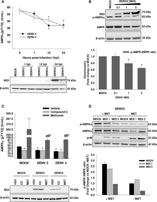 DENV infection down-regulates AMPK activity.In A, The AMPK activity, depicted as phosphorylation levels at Thr-172, was evaluated in Huh7 cells infected with DENV 2/4 (MOI 3) at 1, 12, and 24 hpi by ELISA, and NS3 viral protein levels (A, lower panel) were determined as infection test. AMPK activity was expressed as U/mL. *p<0.05 compared to mock infected cells (0 hpi). Data are means ± standard error (S.E) of n = 3 independent experiments realized by duplicate. (B) The levels of AMPK phosphorylated, AMPK total, and NS3 viral protein were analyzed by western blot in whole cell lysates obtained from Huh7 cells infected with DENV2 (MOI 0.1, 1 and 3) for 24 h. Graph represents the relative quantification of pAMPK respect to AMPK total protein. The pAMPK and total AMPK densitometry values were normalized with β-actin and pAMPK/AMPK ratios were calculated, Ratios are represented with respect to the indicated control. *p<0.05 compared to mock infected cells. Data are means ± standard error (S.E) of n = 4 independent experiments. (C) The AMPK activity and NS3 viral protein levels (C, lower panel) were determined in Mock or DENV 2/4 infected Huh7 cells treated with DMSO 0.5% (vehicle, VEH), 10 mM Metformin (MET, AMPK activator) or 10 μM Compound C (CC, AMPK inhibitor) for 24 h. *p<0.05 compared to mock VEH-treated cells, abp<0.05 compared to mock MET-treated cells. Data are means ± standard error (S.E) of n = 3 independent experiments realized by duplicate. (D) The levels of AMPK phosphorylated, AMPK total, and prM viral protein were analyzed by western blot in whole cell lysates obtained from Mock or DENV2 Huh7 infected cells (MOI 1 and 3) in the presence or absence of 10 mM metformin (MET) for 24h. Graph represents pAMPK/AMPK ratios normalized with respect to Mock infected cells with no MET treatment. pAMPK/AMPK ratios were obtained adjusting each protein with β-actin.