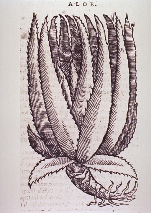 <p>Woodcut illustration of the plant.</p>