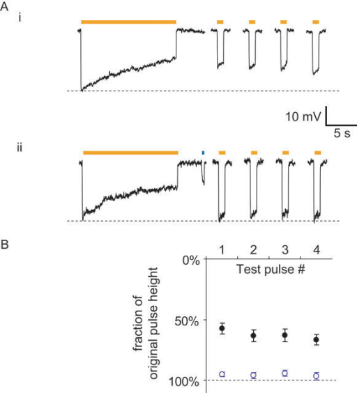 Blue light facilitates optimal Halo function.(A) (i) Timecourse of Halo-mediated hyperpolarizations in a representative current-clamped hippocampal neuron during 15 seconds of continuous yellow light, followed by four 1-second test pulses of yellow light (one every 30 seconds, starting 10 seconds after the end of the first 15-second period of yellow light). (ii) Timecourse of Halo-mediated hyperpolarization for the same cell exhibited in (i), but when Halo function is facilitated by a 400-ms pulse of blue light in between the 15-second period of yellow light and the first 1-second test pulse. (B) Population data for blue-light facilitation of Halo recovery (n = 8 neurons). Plotted are the hyperpolarizations elicited by the four 1-second test pulses of yellow light, normalized to the peak hyperpolarization induced by the original 15-second yellow light pulse. Dots represent mean±S.E.M. Black dots represent experiments when no blue light pulse was delivered (as in Fig. 5Ai.). Open blue dots represent experiments when 400 ms of blue light was delivered to facilitate recovery (as in Fig. 5Aii.).