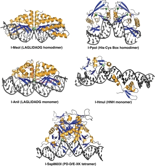 Structures of homing endonuclease–DNA complexes in this study. The structures correspond to a homodimeric LAGLIDADG enzyme (I-MsoI; 2.5 Å resolution), a monomeric LAGLIDADG enzyme (I-AniI; 2.4 Å), a homodimeric His-Cys box enzyme (I-PpoI, 1.7 Å), an HNH enzyme (I-HmuI, 3.1 Å) and a tetrameric PD-D/E-XK enzyme (I-SspI; 3.1 Å). All structures shown are in complex with wild-type physiological target sites from the biological host of the corresponding homing endonuclease. Bound metal ions are shown as spheres.