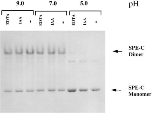 Recombinant SPE-C forms stable dimers in solution. Recombinant SPE-C (5 mg/ml) was incubated in either 50 mM morpholine  ethane sulphonic acid/Hepes/acetate buffer, pH 5.0, or 50 mM Tris-BisTris buffer, pH 7.0 or 9.0, with either 1 mM EDTA or 10 mM iodoacetamide. One volume of reducing SDS Laemmli sample buffer was added,  and then samples were run on a 12.5% SDS gel without boling at a total  of 0.5 W of power.