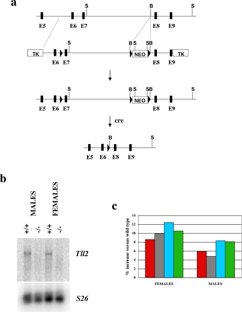 Generation and analysis of mice carrying a loss-of-function mutation in the Tll2 gene.(a) Gene targeting strategy. Locations of exons 6–9 are shown as black boxes, and LoxP sites are denoted by triangles. (b) Northern analysis of Tll2 expression levels. Twenty micrograms of poly A-selected brain RNA isolated from either wild type or Tll2−/− mice were electrophoresed, blotted, and hybridized with a Tll2 probe corresponding to exons 1–3. The blot was re-hybridized with a probe for the S26 ribosomal protein to control for loading. (c) Muscle weight increases in Tll2−/− mice. Numbers represent percent increases relative to wild type mice and were calculated from the data shown in Table 1. Muscles analyzed were: pectoralis (red), triceps (gray), quadriceps (blue), and gastrocnemius (green).