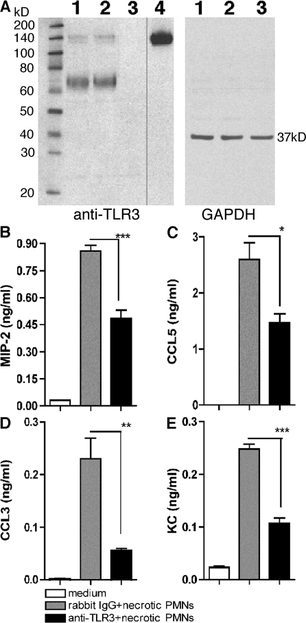 TLR3 was required for chemokine generation by WT peritoneal macrophages after co-culture with necrotic neutrophils. (A) The specificity of polyclonal rabbit anti-TLR3 was determined by Western blot analysis of TLR3 expression in the following samples: lane 1, WT macrophages; lane 2, tlr7−/− macrophages; lane 3, tlr3−/− macrophages; and lane 4, recombinant TLR3. The black line indicates that intervening lanes have been spliced out. (B-E) Chemokine concentrations in the supernatants of WT peritoneal macrophages co-cultured with necrotic neutrophils with IgG or anti-TLR3 polyclonal antibody were quantified using Bio-Plex. The data are means ± SEM of triplicate wells and are representative of three independent experiments. *, P < 0.05; **, P < 0.01; and ***, P < 0.001 compared with IgG group.
