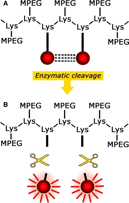 Schematic example of the mechanism behind an activatable probe. The probe is dark in its native state, thereby keeping unwanted background signals to a minimum (a). After cleavage of the backbone carrier by a specific enzyme, the probe will fluoresce when excited with light of a defined wavelength (b)