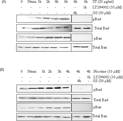 Guggulsterone and PI3K-specific inhibitor LY294002 block ST and nicotine induced Bad and Bax phosphorylation.SCC4 cells (2–3×106) were treated with (A) ST (20 µg/ml) or (B) Nicotine (10 µM) for the indicated time intervals. SCC4 cells were pre-treated with LY294002 (10 µM) for 60 min, or 50 µM GS for 4 h, followed by ST (20 µg/ml) for 4 h, or with nicotine (10 µM) for 4 h, and whole-cell extracts were prepared. Sixty microgram proteins from whole-cell extracts were resolved on 10% SDS-PAGE, electrotransferred to a PVDF membrane followed by blocking with 5% non-fat milk overnight. Protein expression was determined using enhanced chemiluminescence method and probed by antibodies against pBad and pBax. The blots were stripped and reprobed for Bax and Bad proteins.