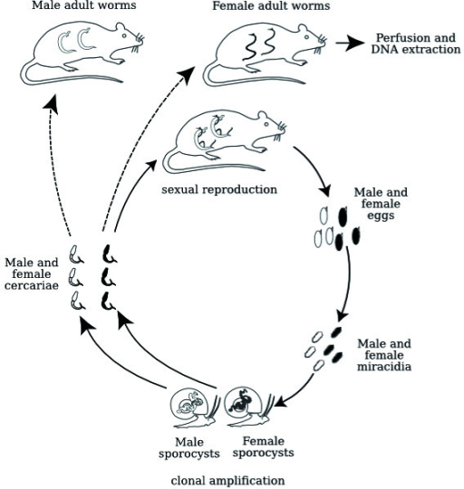 Sexual reproduction in vertebrates