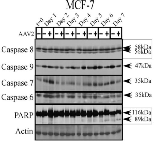 Figure 7 Adeno Associated Virus Type 2 Infection Activates