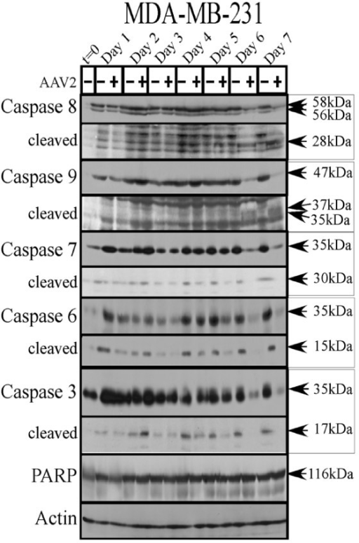Aav2 Induction Of Apoptosis Cell Death In Mda Mb 231 Ce