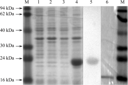 SDS-PAGE electrophoretic and western blot analysis of expressed recombine LstiGOBP2.M. Molecular weight marker; 1. Non-induced E. coli pET30; 2. Induced E. coli pET30; 3. Non-induced E. coli LstiGOBP2; 4. Induced E. coli LstiGOBP2; 5. Western blot; 6. Purified protein cleaved His by rbEK.