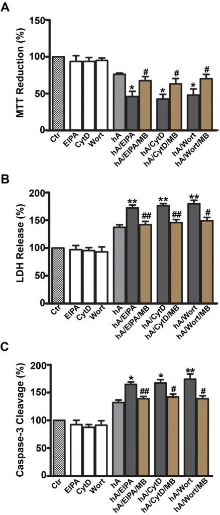Inhibition of macropinocytosis augments human amylin toxicity in RIN-m5F cells.The effects on cell viability were assessed with MTT reduction (A), LDH release (B) and Caspase-3/7 cleavage (C). Inhibition of macropinocytosis by EIPA, CytD or Wort enhanced human amylin toxicity relative to the control cells (human amylin alone), which in turn was significantly reversed by adding MB. *P<0.05, **P<0.01, hA vs. hA/inhibitors, n = 9 ANOVA followed by Dunnett-Square test and #P<0.05, ##P<0.01, hA/inhibitors vs. hA/inhibitors/MB, n = 9, ANOVA followed by Newman-Keul post hoc test.