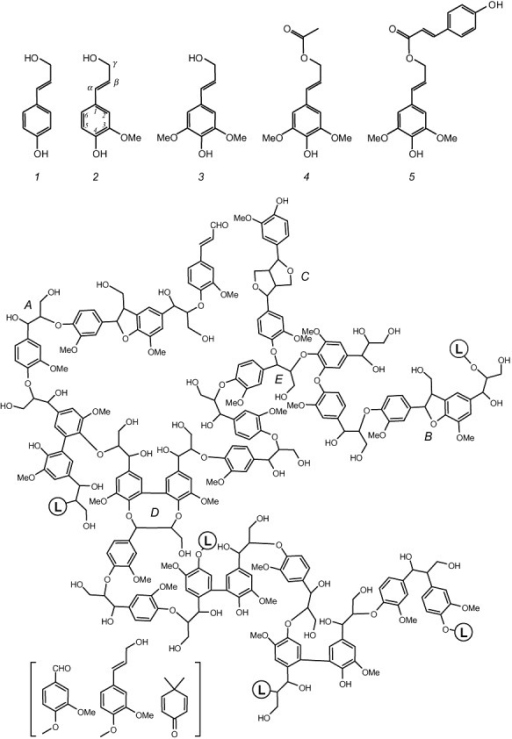 Three classical and two acylated lignin precursors or monolignols (top), and structural model for gymnosperm lignin (bottom). Gymnosperms produce the simplest lignin type formed only by guaiacyl units derived from coniferyl alcohol (2). In contrast, angiosperm lignin also include p‐hydroxyphenyl and sinapyl units derived from p‐coumaryl (1) and sinapyl (3) alcohols, as well as a variable amount of acylated lignin often derived from sinapyl alcohol γ‐esterified with acetic (4), p‐coumaric acid (5) or other organic acids (Ralph et al., 2004; Martínez et al., 2008). A variety of ether and carbon–carbon inter‐unit linkages are formed during monolignol radical polymerization resulting in β‐O‐4′ (A), phenylcoumaran (B), pinoresinol (C) and dibenzodioxocin (D) substructures, among others. Linkages to additional lignin chains are indicated (L‐containing circles). Other minor structures (in brackets) include vanillin, coniferyl alcohol and dimethylcyclohexadienone‐type units, the latter in new spirodienone substructures (Zhang et al., 2006) (courtesy of G. Gellerstedt).