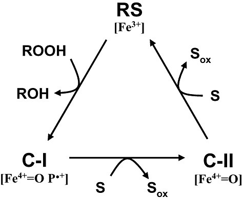 General catalytic cycle of peroxidases (Dunford, 1999). The cycle includes two‐electron oxidation of the enzyme resting state (RS, containing Fe3+) by hydroperoxide to yield compound‐I (C‐I; containing Fe4+‐oxo and porphyrin cation radical), whose reduction in two one‐electron steps results in the intermediate compound‐II (C‐II; containing Fe4+=O after porphyrin reduction) and then the resting form of the enzyme, with concomitant oxidation of two substrate molecules (S; which could be low‐redox‐potential phenols and dyes, or Mn2+ in the cases of MnP and VP).