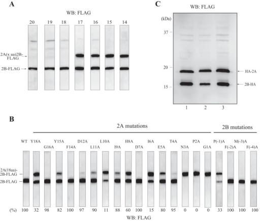 Amino acids important for 2A-2B processing.A, the HeLa cell extract-derived protein expression system was programmed with a template encoding an N-terminally truncated 2A-2B-FLAG, pUC-T7-HCV 2A (14, 15, 16, 17, 18, 19, or 20 aa)-2B-FLAG. The number above each panel represents the number of amino acids of 2A after truncation. Western blotting (WB) was performed with anti-FLAG antibody. B, templates bearing an alanine substitution for each of the C-terminal 18 amino acids of 2A (except two native alanine residues) and for the N-terminal four amino acids of 2B in the plasmid pUC-T7-HCV 2A (18 aa)-2B-FLAG were incubated in the HeLa cell extract-derived protein synthesis system. Western blotting was performed with anti-FLAG antibody. Each amino acid is numbered from the C-terminal amino acid (glycine) of 2A, which is set to +1. The efficiency of processing (2B-FLAG/2B-FLAG + 2A (18 aa)-2B-FLAG) is reported below each panel. C, plasmids pUC-T7-HCV HA-2A-2B-HA (lane 1), pUC-T7-HCV HA-2A(silent-1)2B-HA (lane 2), and pUC-T7-HCV HA-2A(silent-2)2B-HA (lane 3) were incubated in the HeLa cell extract-derived protein synthesis system. Western blotting was performed with anti-HA antibody.