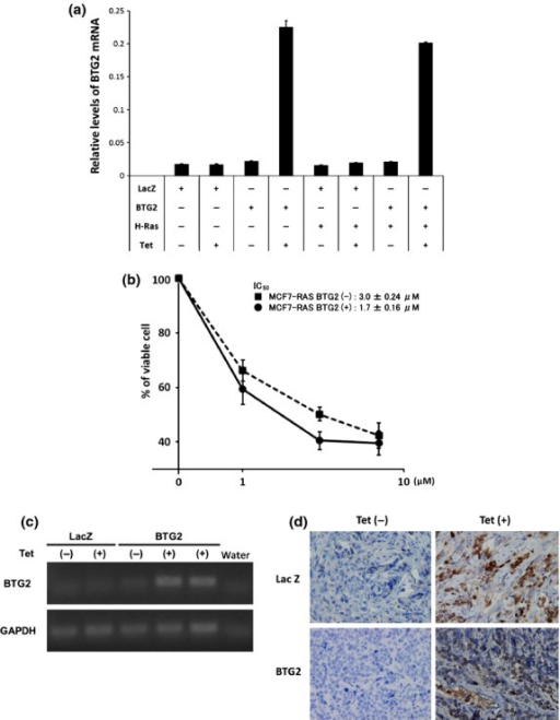 In vitro and in vivo conditional expression model of B-cell translocation gene 2 (BTG2) using the tetracycline inducible system. (a) BTG2 was induced by treating MCF7/tet-BTG2 and MCF7-RASV12/tet-BTG2 cells with tetracycline for 48 h and BTG2 mRNA expression was assessed using qPCR. Additionally, MCF7/tet-LacZ and MCF7-RASV12/tet-LacZ cells were analyzed as controls. (b) Several different concentrations of tamoxifen were added to MCF7-RASV12/tet-BTG2 cells to draw inhibition curves for cells with or without tetracycline treatment. (c) MCF7-RASV12/tet-BTG2 cells were injected into the mammary fat pad of immunodeficient mice to form tumors. These tumor-bearing mice were administered water containing tetracycline. To confirm the BTG2 expression, mRNA was extracted from the harvested tumors and the expression was analyzed using semi-quantitative RT-PCR. (d) The resected tumors were also immunostained with anti-V5 antibody to confirm the nuclear expression of BTG2 in the tumor cells. MCF7-RASV12/tet-LacZ cells were also injected to create tumors as negative controls.