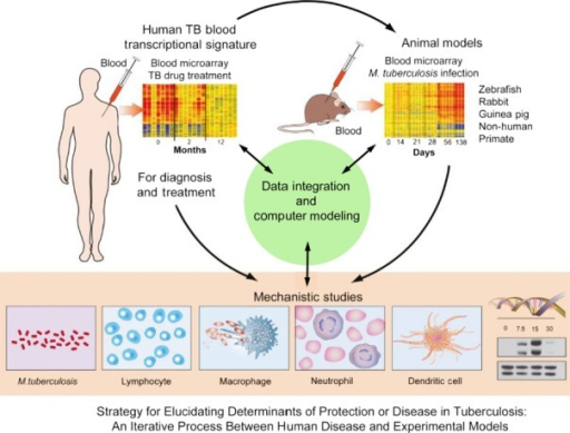 Using a systems biology approach in infectious diseases. This figure defines the strategy for elucidating determinants of protection or disease in tuberculosis: an iterative process between human disease and experimental models. Modified from O'Garra et al., 2013 (1); O'Garra et al., 2013 (80); Berry et al., 2013 (3); Blankley et al., 2014 (5).
