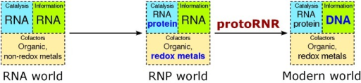 The transition from the RNA world to the RNP world and, by the action of the protoRNR, to the modern RNA + protein + DNA world. Evolutionary novelties are marked in bold blue text. Whereas non-redox active divalent metals in ribozymes are common, metals catalyzing electron transfer in ribozymes are much more rare (see main text).